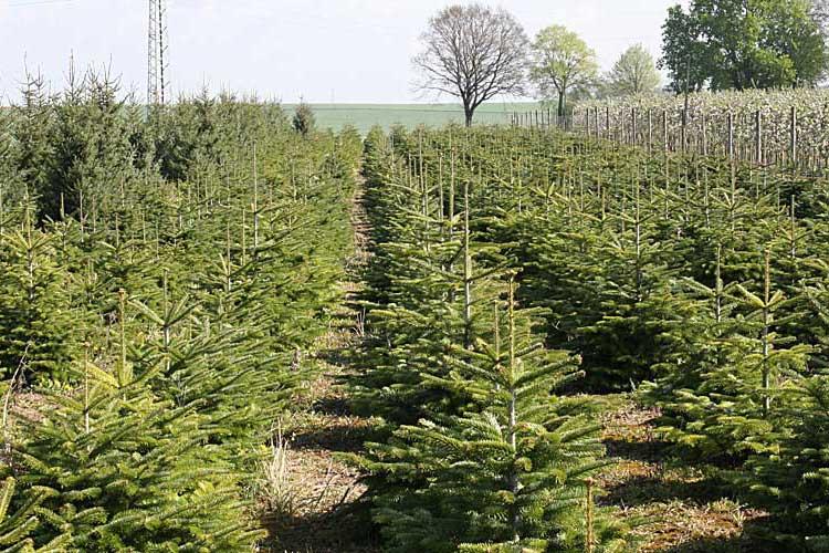 Unsere Tannenbaumplantage